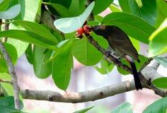 Mavis bird eating fruit. Food for survival royalty free stock photography