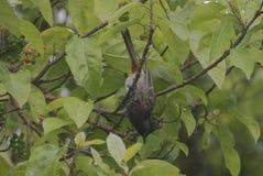 mavis bird about to fly from tree stock photos
