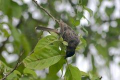 mavis bird searching for food on tree stock image