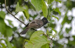 mavis bird sitting on tree stock photo