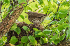 Mavis with chicks in the nest. Stock Photo