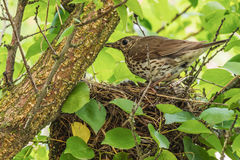 Mavis with chicks in the nest. Royalty Free Stock Photo