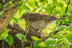 Mavis with chicks in the nest. Royalty Free Stock Photography