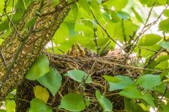 Mavis with chicks in the nest. Stock Photos