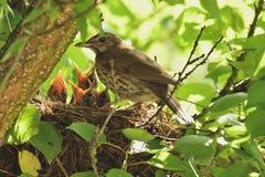 Mavis och fågelungar Arkivfoton