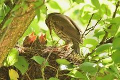 Mavis och fågelungar Arkivbild