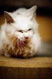 mawning在街道的逗人喜爱的白色猫 图库摄影