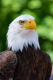 Max The Bald Eagle Stock Image