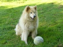 Max and the Ball. A wolf/husky cross waits for someone to play with stock photography