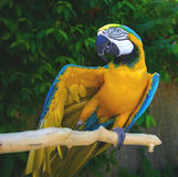Max the parrot - Showing Off! Royalty Free Stock Photo