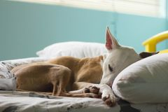 Max the pitbull mix sleeping stock images