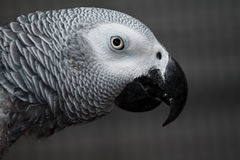 max vårt papegojahusdjur Arkivfoton