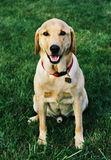Max the Yellow Lab. Smiling for the camera royalty free stock photos