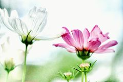Maxican-Asterblume stockfotografie