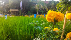 Maxican marigold and country landscape. Maxican marigold planted by KMITL student, Bangkok royalty free stock images