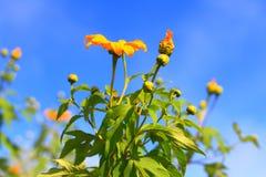Maxican słonecznik na górze w niebieskim niebie zdjęcie royalty free