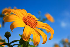 Maxican sunflower with blue sky background Stock Images