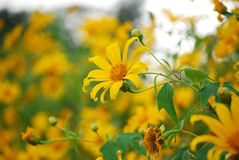 Maxican sunflower Royalty Free Stock Photo