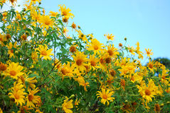 Maxican sunflower Stock Images