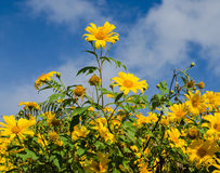 Maxican sunflower fields On sky background. Flower field on sky background stock photography