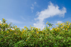 Maxican sunflower fields On sky background. Flower field on sky background Royalty Free Stock Image