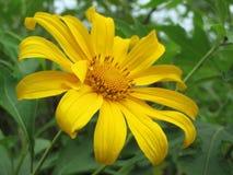 Maxican sunflower royalty free stock photos