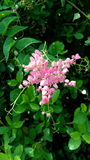 The Maxicancreeper flower. (1). Pink flower with leaves in the garden Stock Images