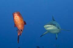 Maxilas de um tubarão do cinza prontas para atacar o retrato ascendente próximo do underwater Imagens de Stock