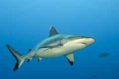 Maxilas de um tubarão do cinza prontas para atacar o retrato ascendente próximo do underwater Foto de Stock