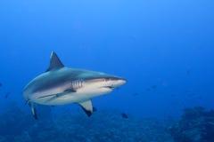 Maxilas de um tubarão do cinza prontas para atacar o retrato ascendente próximo do underwater Imagem de Stock