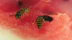 Maxilas selvagens das vespas video estoque