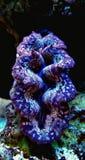 Maxima Clam coloreó - máximos del Tridacna foto de archivo libre de regalías