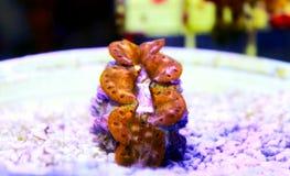 Maxima Clam Gold - máximos del Tridacna foto de archivo libre de regalías