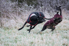 Maximal & Bella Greyhound Royaltyfri Fotografi