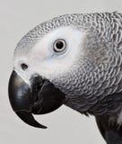 Maximal der Papagei Lizenzfreie Stockbilder