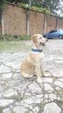 Maximal niño för dogie för mascotavalphund royaltyfria foton