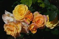 Maximal vår Rose Blossom Coloration arkivfoto