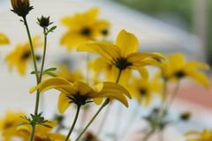 Maximilian Sunflower Photographie stock