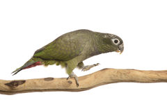 Maximillian Pionus parrot Stock Photography