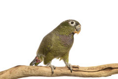 Maximillian Pionus parrot Royalty Free Stock Photos