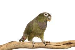 Maximillian Pionus parrot Royalty Free Stock Photos