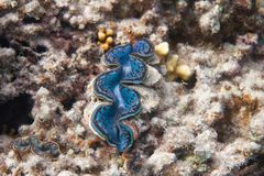 Maximum bleus de Maxima Clam Tridacna en Mer Rouge photo libre de droits