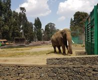 Asian elephant in a zoo. Maximum elephas, large head, mammalian animal in danger of extinction, endangered species Stock Image