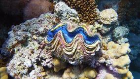 Maximumen samlar musslor, marin- liv arkivbild
