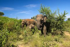 Maximus οικογενειακού Elephas ελεφάντων, στο εθνικό πάρκο Udawalawe Στοκ εικόνα με δικαίωμα ελεύθερης χρήσης