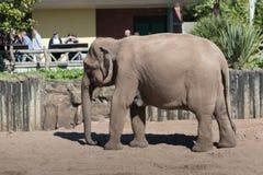 Maximus asiático o asiático del Elephas del elefante en Chester Zoo, Cheshire Imágenes de archivo libres de regalías
