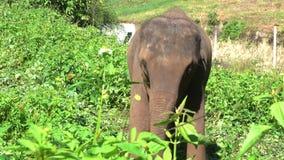 Maximus del Elephas del elefante asiático es un mamífero grande metrajes