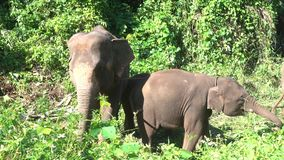 Maximus del Elephas del elefante asiático es un mamífero grande almacen de video