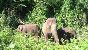 Maximus del Elephas del elefante asiático es un mamífero grande almacen de metraje de vídeo