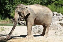 Азиатский слон, maximus Elephas также вызвал слона Азиатский стоковая фотография rf